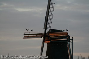 1 september 2010: Ooievaars op de molen